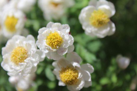 花簪(はなかんざし)ローダンセ アンテモイデスの花