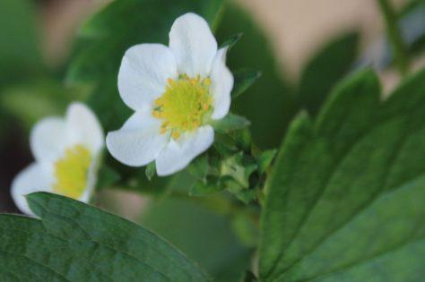 苺(いちご)の花