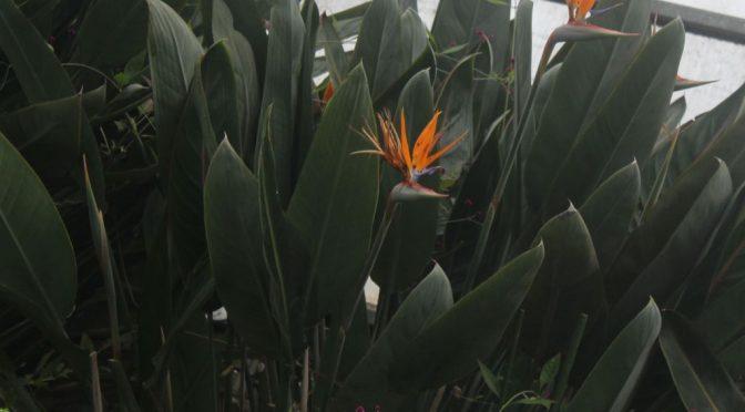 ストレチア・レギネ(極楽鳥花)