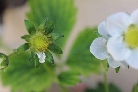 落花後の莓(いちご)