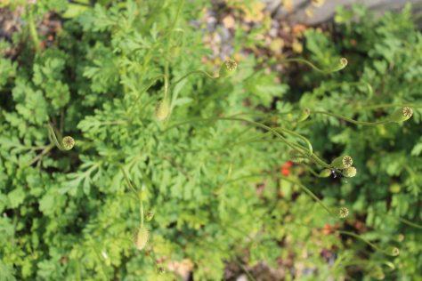長実雛芥子 ナガミヒナゲシ 葉と実