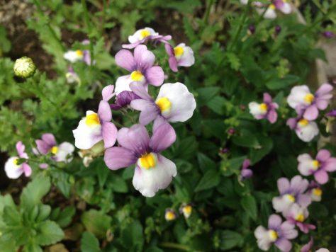 ネメシア・カエルレア(宿根ネメシア)花