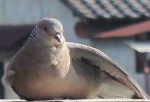 羽を整える鳩