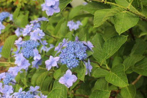 紫陽花(あじさい)3