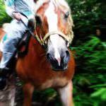 ハフリンガーと行く森の小道