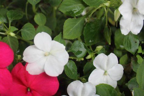 インパチェンス(アフリカホウセンカ)花
