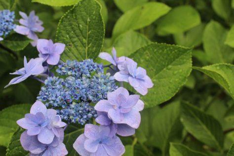 紫陽花(あじさい)花2