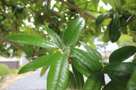 多羅葉(タラヨウ)葉
