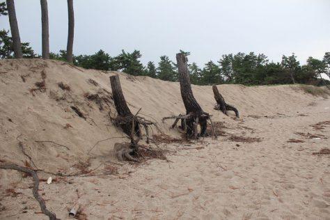 弓ヶ浜 根がむき出しになった木