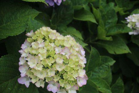 紫陽花(あじさい)2