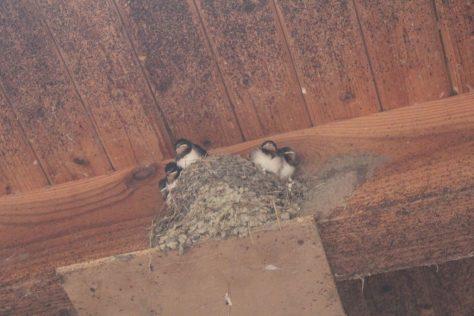 燕の巣 燕の雛たち2
