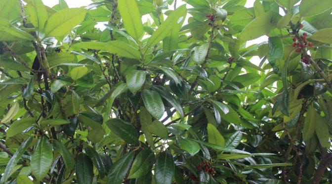 多羅葉(タラヨウ)葉書の木