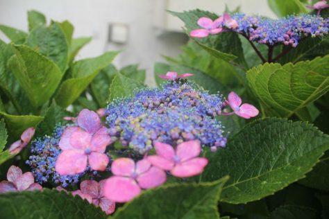 紫陽花(あじさい)1