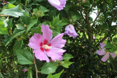 木槿(ムクゲ)花1