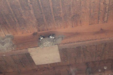 一羽の雛が巣立った後 燕の巣