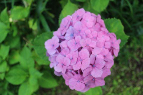 紫陽花(あじさい)花3