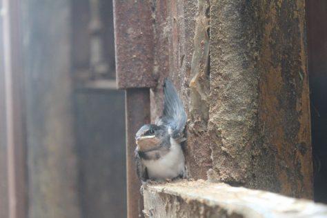 燕の巣立ち