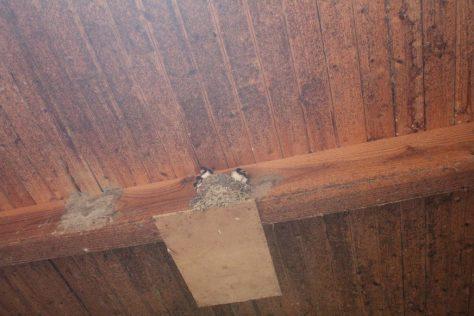 燕の巣 燕の雛たち