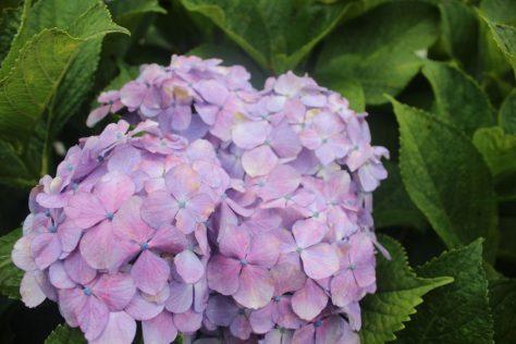 紫陽花(あじさい)花1