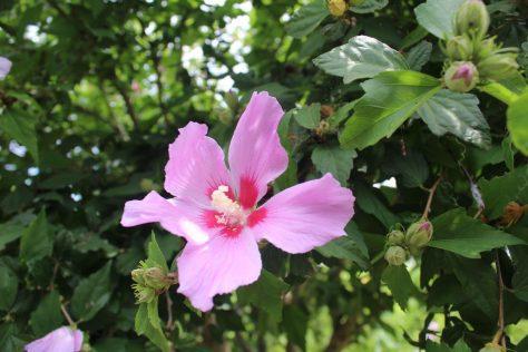 木槿(ムクゲ)花
