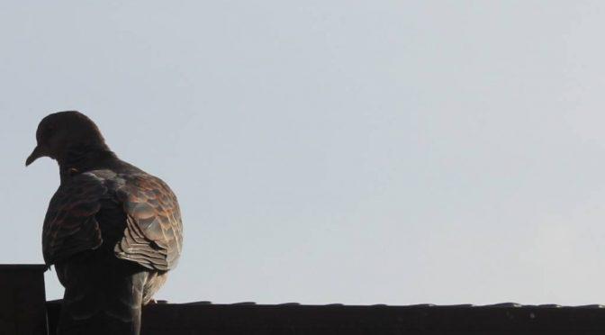 雉鳩 キジバト 山鳩 ヤマバト 鳴き声