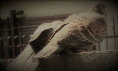 雉鳩(山鳩)のカップル